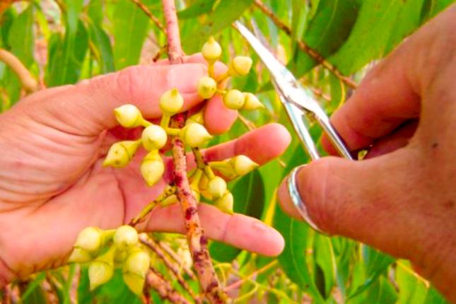 CENIBRA diversifica estratégia para geração de novos clones de eucalipto