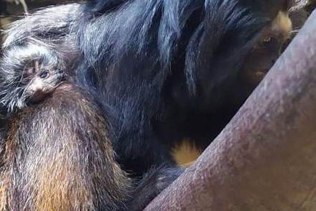 Zoológico de São Paulo comemora nascimento de dois micos-leões-pretos